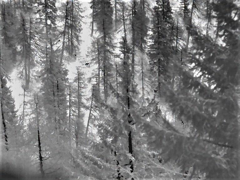 I primi camosci osservati con il Calonox a 400 metri. In questa foto due si distinguono bene, gli altri sono parzialmente coperti da rami troppo grossi, e si vedono solo in parte.